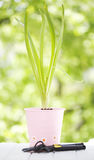 Hyacinth in a pot Royalty Free Stock Photography