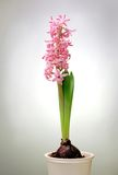 Hyacinth in pot Royalty Free Stock Photos