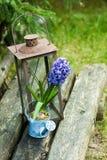 Hyacinth in a pot Royalty Free Stock Photos