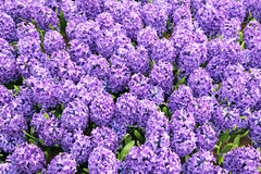 Hyacinth in the pot, The Hague - Netherlands Stock Photos