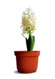 Hyacinth in a pot. Isolated on white background royalty free stock photo