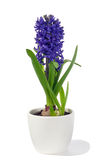 Hyacinth in pot Royalty Free Stock Photo