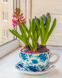 Hyacinth in a pot with a vintage patter Stock Images