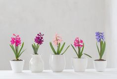 Hyacinth in pot on white background royalty free stock images