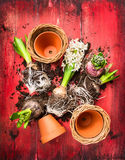 Hyacinth potting , composing on red wooden garten table Royalty Free Stock Photography