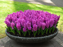 Hyacinth Purple Sensation. Bright, nice and fragrant hyacinth. Good for parks, flower-beds, mix borders, rock gardens, alpine gardens, yards, vases and forcing Stock Photography