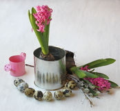 Hyacinth, quail eggs and watering Royalty Free Stock Image