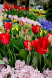 Hyacinth and tulips. Hyacinth red green plant flowers spring landscape tulips Stock Image