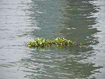 Hyacinth scum Royalty Free Stock Photo