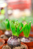 Hyacinth seedlings Stock Image