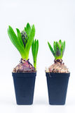 Hyacinth seedlings Royalty Free Stock Photography