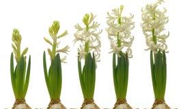 Hyacinth Series blanco Foto de archivo