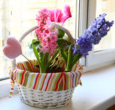 A hyacinth is in a small basket. Spring flowers in a small basket on a balcony Stock Photos