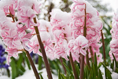 Hyacinth in snow Stock Images