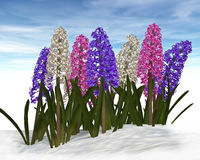 Hyacinth in snow. Royalty Free Stock Images
