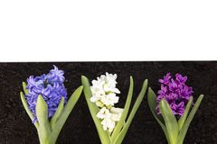 Hyacinth and Easter eggs royalty free stock photo