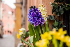 Hyacinth and spring flowers. In the city Stock Image