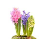 Hyacinth. Royalty Free Stock Images