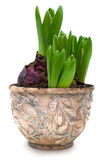 Hyacinth sprouts in old ceramic pot isolated with clipping path Stock Images