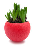Hyacinth sprouts in red pot isolated with clipping path Royalty Free Stock Photography
