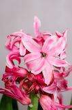 Hyacinth. A still life with a pink hyacinth Stock Photos
