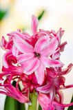 Hyacinth. A still life with a pink hyacinth Royalty Free Stock Photos