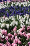 Hyacinth Stripes. White, pink and blue hyacinths growing closely together, forming series of broad stripes Royalty Free Stock Images