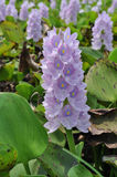 Hyacinth. At the swamp in the countryside Royalty Free Stock Images