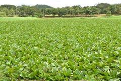 Hyacinth Thailand. Lizenzfreie Stockbilder