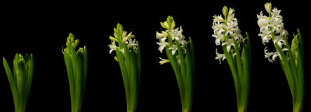 Hyacinth Time Lapse blanc Photo stock