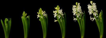 Hyacinth Time Lapse branco Foto de Stock