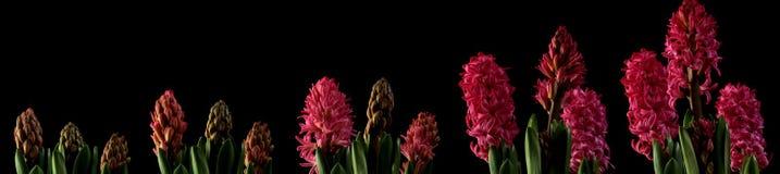 Hyacinth Time Lapse rosa Fotografie Stock