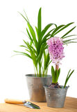 Hyacinth and tropical plant Royalty Free Stock Image