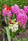 Hyacinth and a tulip Stock Photos