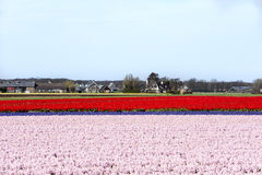 Hyacinth and tulip fields Royalty Free Stock Photo
