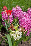 Hyacinth and a tulip Royalty Free Stock Photo