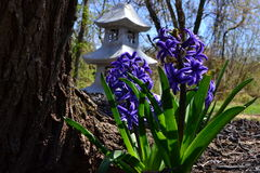Hyacinth and vegitation. Early hyacinth in the garden with a pagoda in the background Stock Photography