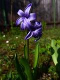 Hyacinth - violet Stock Photos