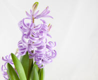 Hyacinth on the white background Royalty Free Stock Photos