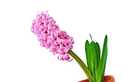 Hyacinth on white stock photography