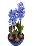 Hyacinth. Winter flowers isolated in studio Stock Photos