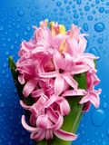 Hyacinth With Rain Drops Isolated On Blue Stock Photos