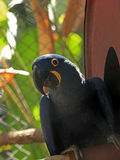 Hyacinthe Macaw Stock Photo