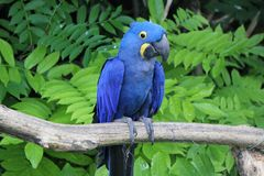 Hyacinthe macaw standing on a branch Stock Images