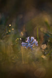 Hyacinthélla pallasiána Royalty Free Stock Photo