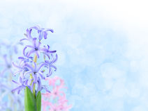 Hyacinthes Royalty Free Stock Images