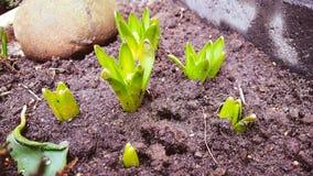 Hyacinthes Royaltyfri Fotografi