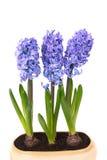 Hyacinthes bleus photo stock