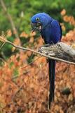 Hyacinthine macaw Stock Photos