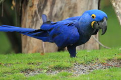 Hyacinthine macaw Royalty Free Stock Images